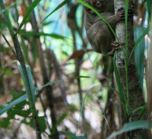 tarsier - najmniejsza małpka świata - Tarsier Research & Development Center - wyspa Bohol