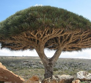 """Smocze drzewo- endemiczny gatunek, nie występujący nigdzie indziej na świecie z którego pozyskuje się """"smoczą krew"""", naturalną żywicę stosowaną np. w lutnictwie. <br><span class=""""cc-link""""><a href=""""http://commons.wikimedia.org/wiki/File:Socotra_dragon_tree.JPG"""" target=""""_blank"""">Autor:Boris Khvostichenko</a><a href='http://creativecommons.org/licences/by-sa/3.0'><img class=""""cc-icon"""" src=""""mods/_img/cc_by_sa-small.png""""></a></a></span>"""