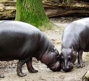 """Jeden z wyjątkowych mieszkańców parku narodowego Sapo- hipopotam karłowaty<br><span class=""""cc-link""""><a href=""""http://commons.wikimedia.org/wiki/File:Zwergflusspferd_-_Pygmy_Hippopotamus_-_Hexaprotodon_liberiensis.jpg"""" target=""""_blank"""">Autor:© Raimond Spekking / CC-BY-SA-3.0 (via Wikimedia Commons)</a><a href='http://creativecommons.org/licences/by-sa/3.0'>&nbsp;<img class=""""cc-icon"""" src=""""mods/_img/cc_by_sa-small.png""""></a></a></span>"""