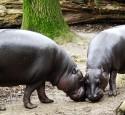 """<span class='dscr'>Jeden z wyjątkowych mieszkańców parku narodowego Sapo- hipopotam karłowaty</span><br><span class=""""cc-link""""><a href=""""http://commons.wikimedia.org/wiki/File:Zwergflusspferd_-_Pygmy_Hippopotamus_-_Hexaprotodon_liberiensis.jpg"""" target=""""_blank"""">Autor:© Raimond Spekking / CC-BY-SA-3.0 (via Wikimedia Commons)</a><a href='http://creativecommons.org/licences/by-sa/3.0'>&nbsp;<img class=""""cc-icon"""" src=""""mods/_img/cc_by_sa-small.png""""></a></a></span>"""