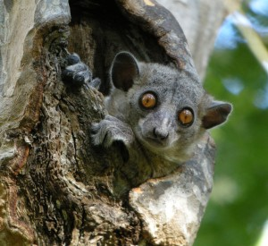 """Lemur rudoogonowy, jeden z wielu gatunków lemurów zamieszkujących park narodowy Sapo<br><span class=""""cc-link""""><a href=""""http://www.flickr.com/photos/42244964@N03/4308927833/"""" target=""""_blank"""">Autor:Frank Vassen</a><a href='http://creativecommons.org/licences/by/3.0'><img class=""""cc-icon"""" src=""""mods/_img/cc_by-small.png""""></a></a></span>"""
