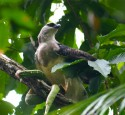 <span class='dscr'>Harpia gujańska, jeden z wyjątkowych mieszkańców parku narodowego Coiba</span>&lt;br&gt;&lt;span class=&quot;cc-link&quot;&gt;&lt;a href=&quot;http://commons.wikimedia.org/wiki/File:Morphnus_guianensis_eating_green_snake_-Bolivia-8.jpg&quot; target=&quot;_blank&quot;&gt;Autor:Alex Lee&lt;/a&gt;&lt;a href=&#039;http://creativecommons.org/licences/by/3.0&#039;&gt;&amp;nbsp;&lt;img class=&quot;cc-icon&quot; src=&quot;mods/_img/cc_by-small.png&quot;&gt;&lt;/a&gt;&lt;/a&gt;&lt;/span&gt;
