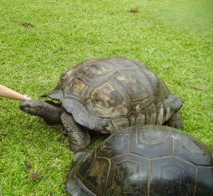 "Ogromne żółwie Dipsochelys hololissa na wyspie Cousine<br><span class=""cc-link""><a href=""http://commons.wikimedia.org/wiki/File:Seychelles_giant_tortoise.jpg"" target=""_blank"">Autor:WL</a><a href='http://creativecommons.org/licences/by-sa/3.0'>&nbsp;<img class=""cc-icon"" src=""mods/_img/cc_by_sa-small.png""></a></a></span>"